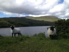 Sheep!! (C) Natalie Martin
